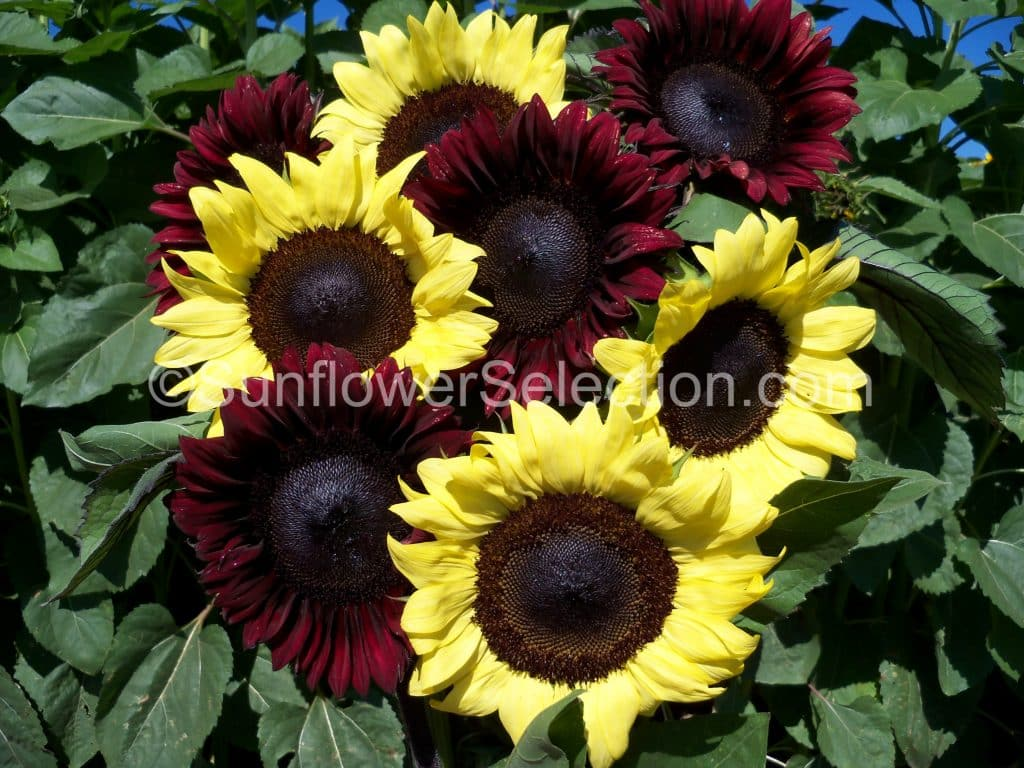 procut u00ae red-now available sunflowers